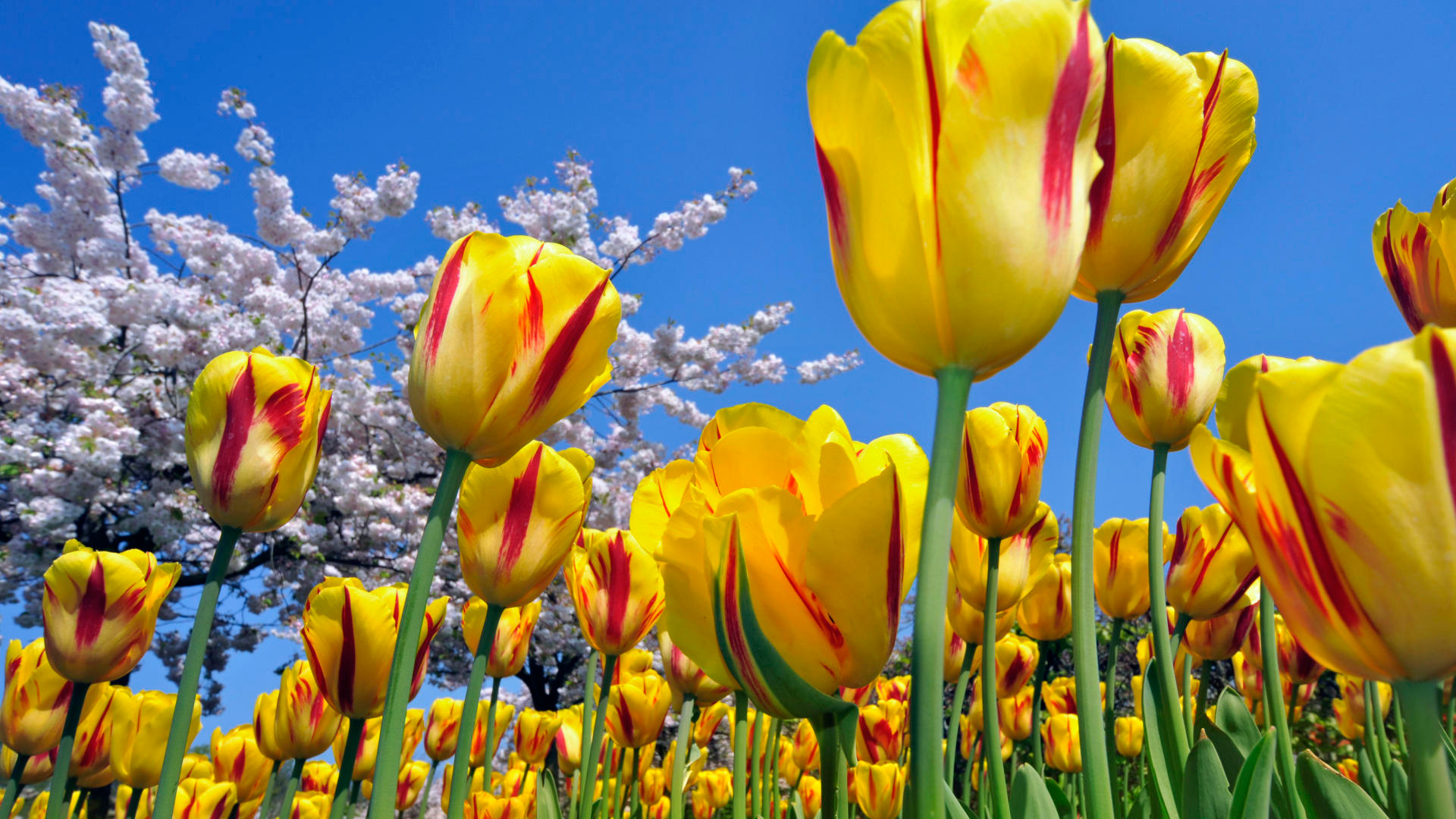 Send flowers, speculate on tulip prices with Bitcoin